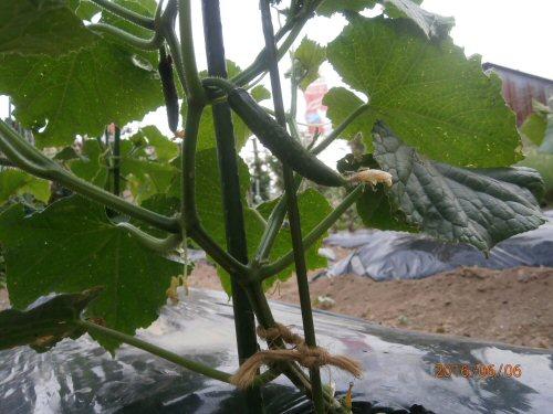 02f 500 20160606 1st cucumber