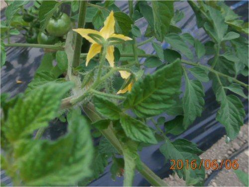 02h 500 20160606 1st tomato