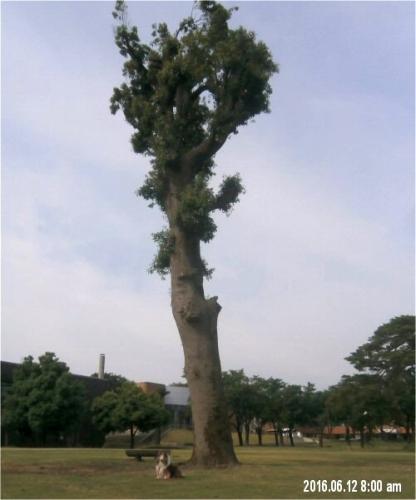 00c 500 20160612 0800 totoro tree