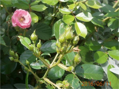 03 500 20160611 rose in LL_garden