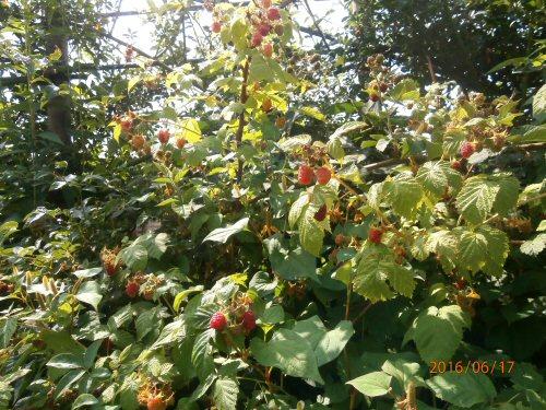 02b 500 20160617 raspberries
