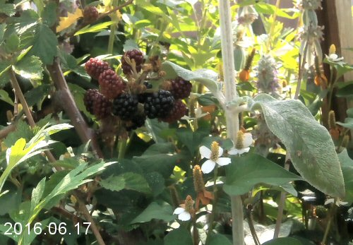 02c 500 20160617 blackberries