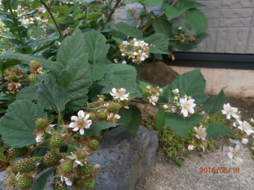 02d 500 20160618 Blackberries beside Dads room
