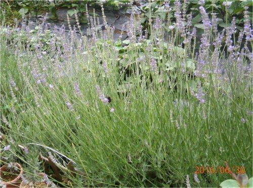 02e 500 20160630 Lavender in LL-garden