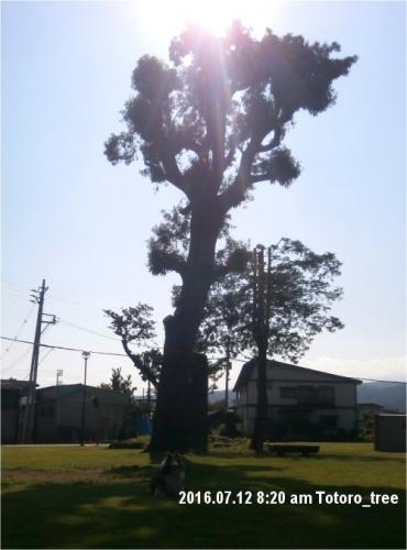 02b 500 20160712 0820 Totoro_tree