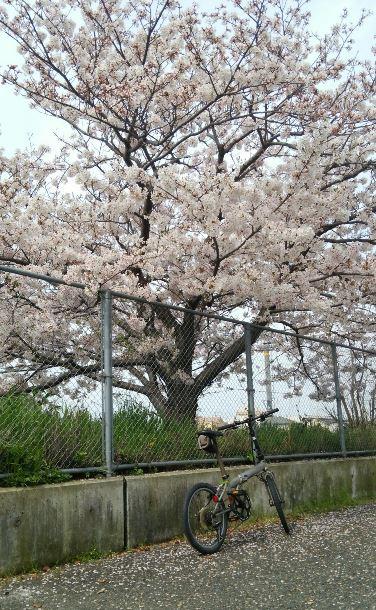 DAHON桜1