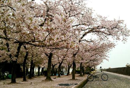 桜とDAHON