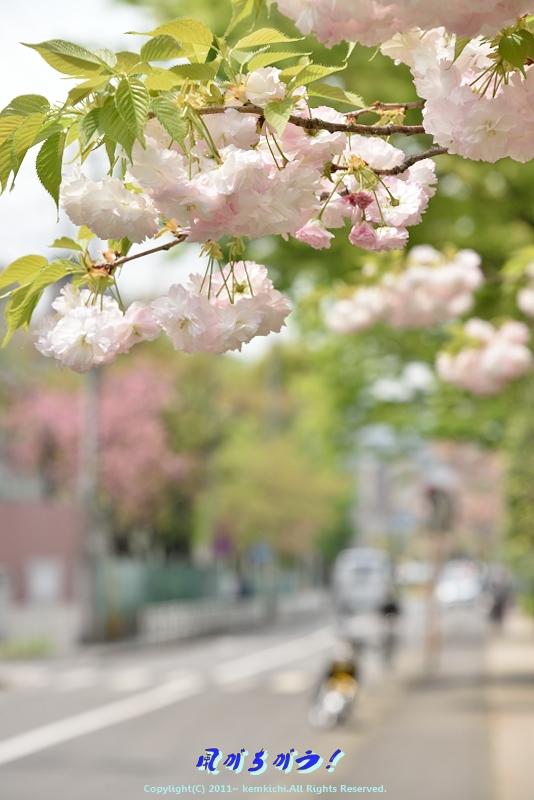 八重桜 007