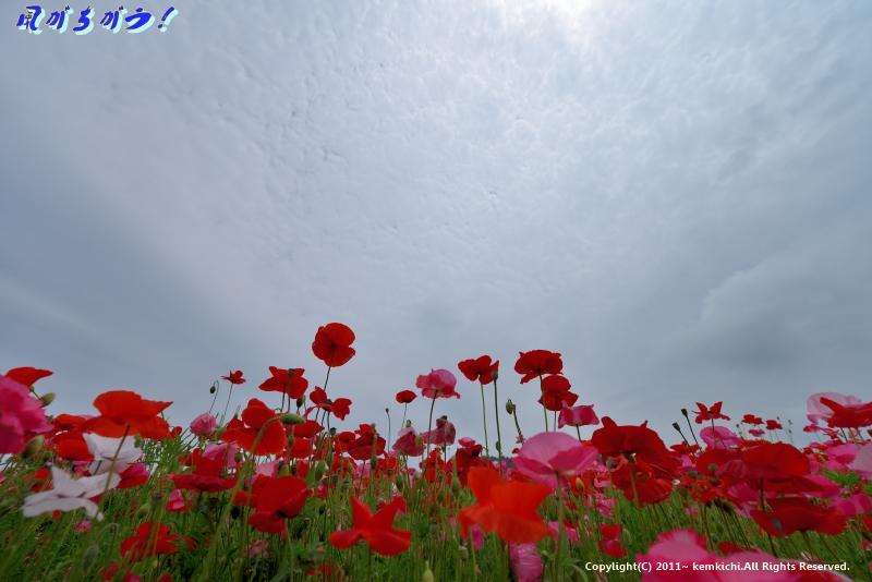 秩父高原牧場 天空のポピー 078