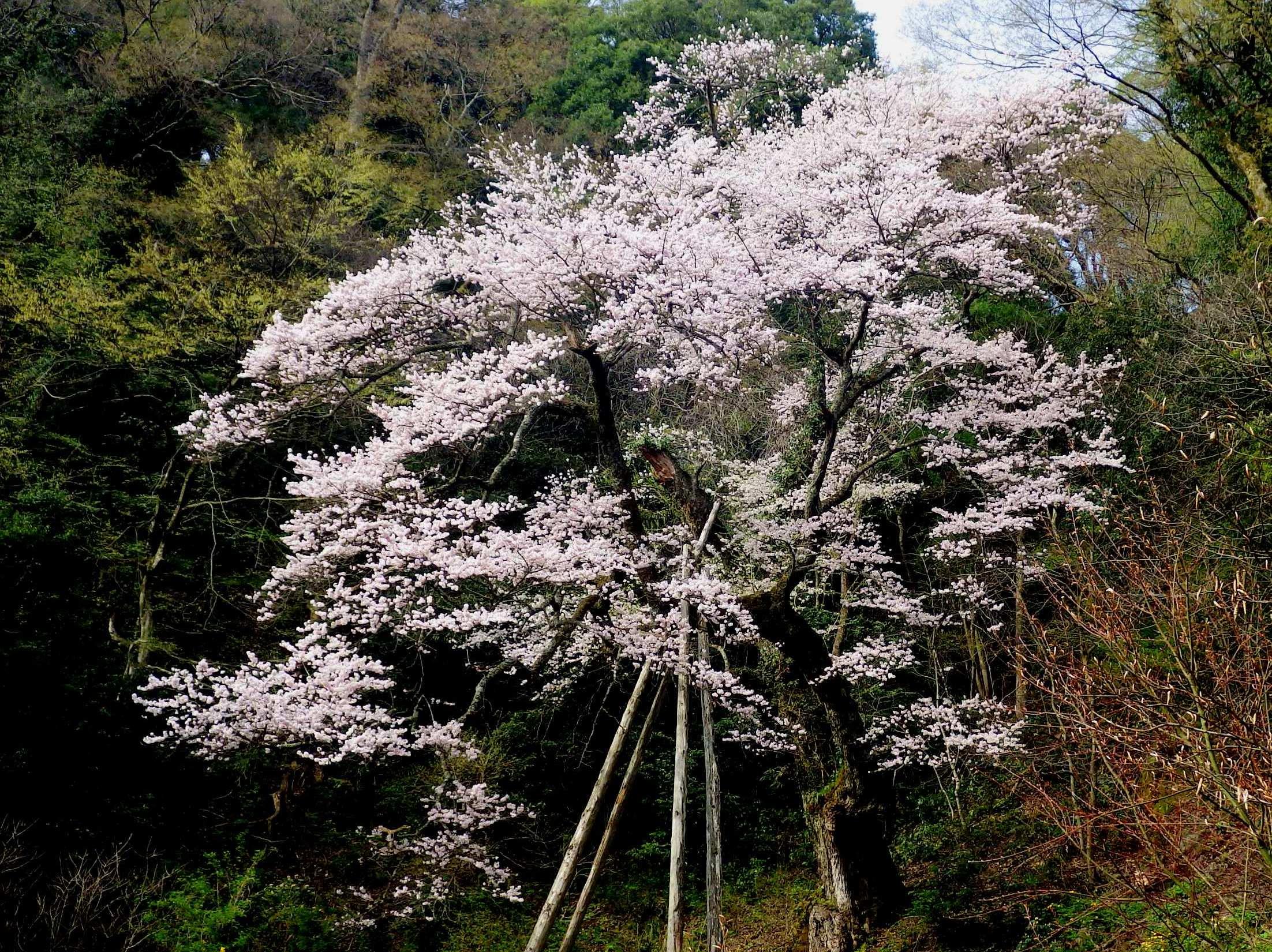 1605ゼンマイ桜