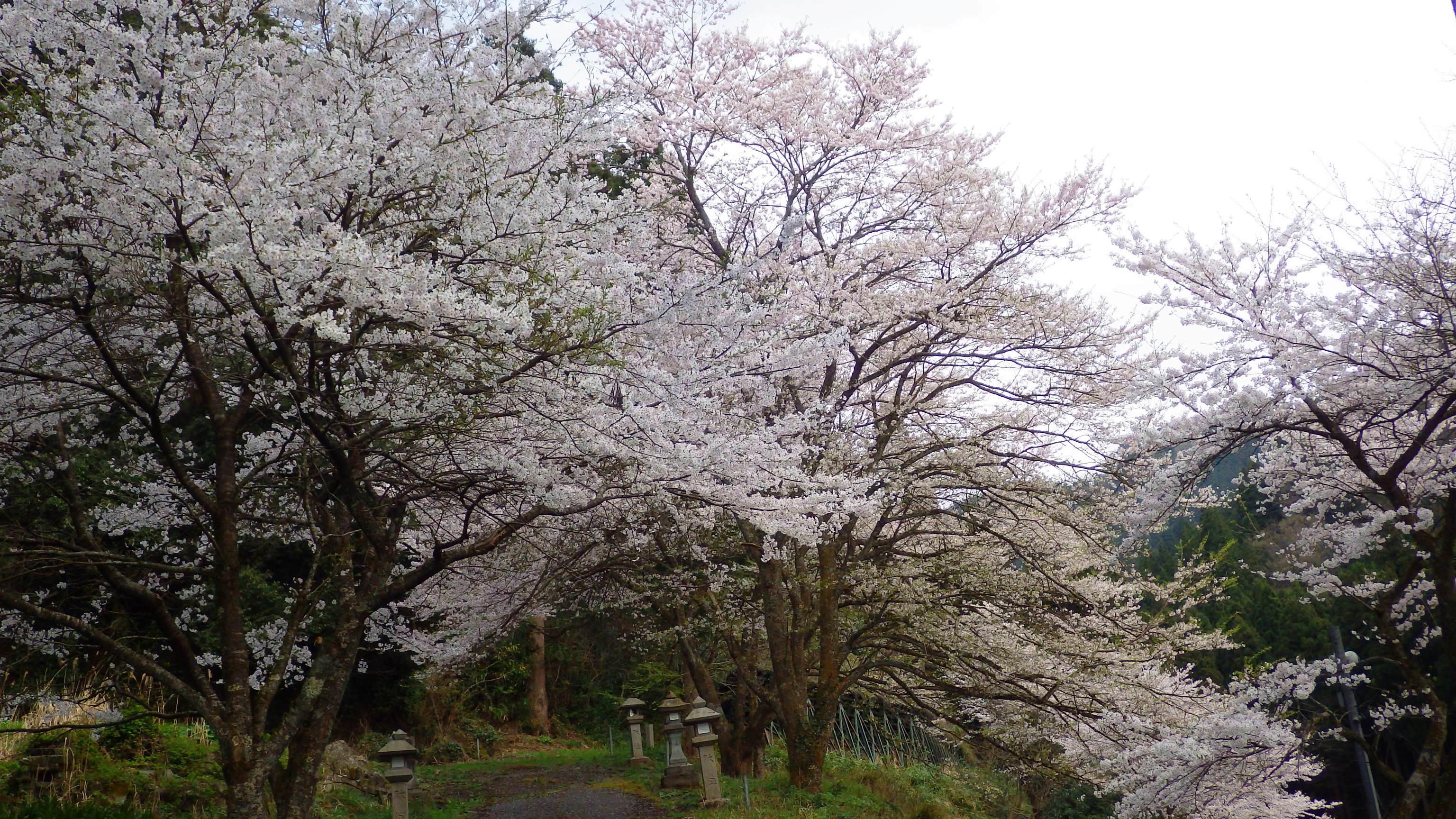 1427登山口桜