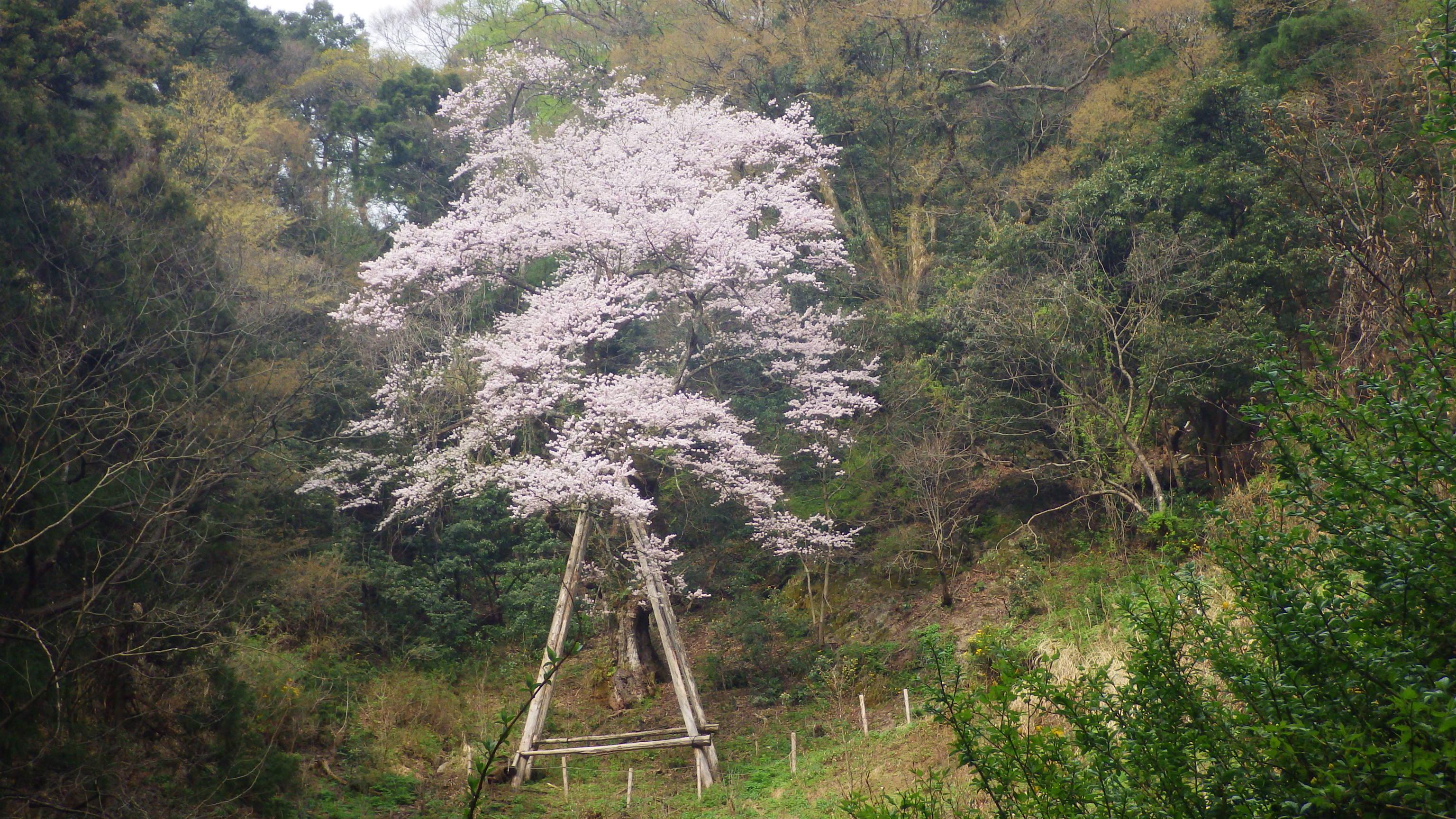 1520ゼンマイ桜
