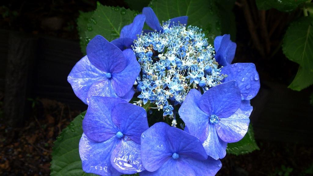 649紫陽花