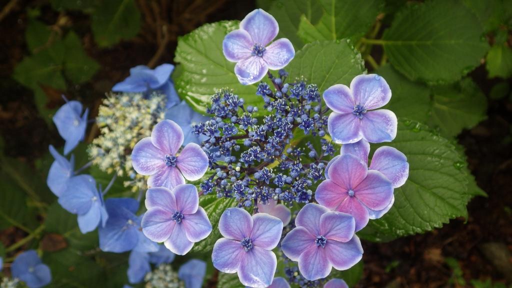 651紫陽花
