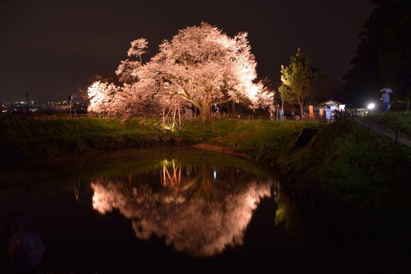 浅井一本桜 (4)
