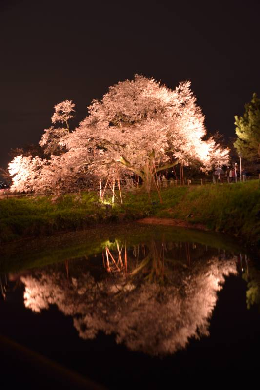 浅井一本桜 (5)