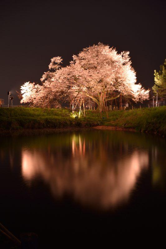 浅井一本桜 (2)