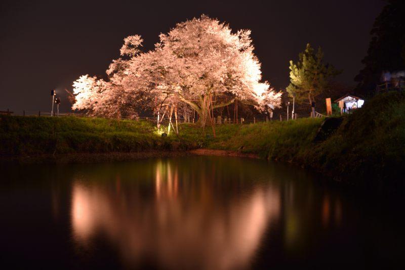 浅井一本桜 (1)