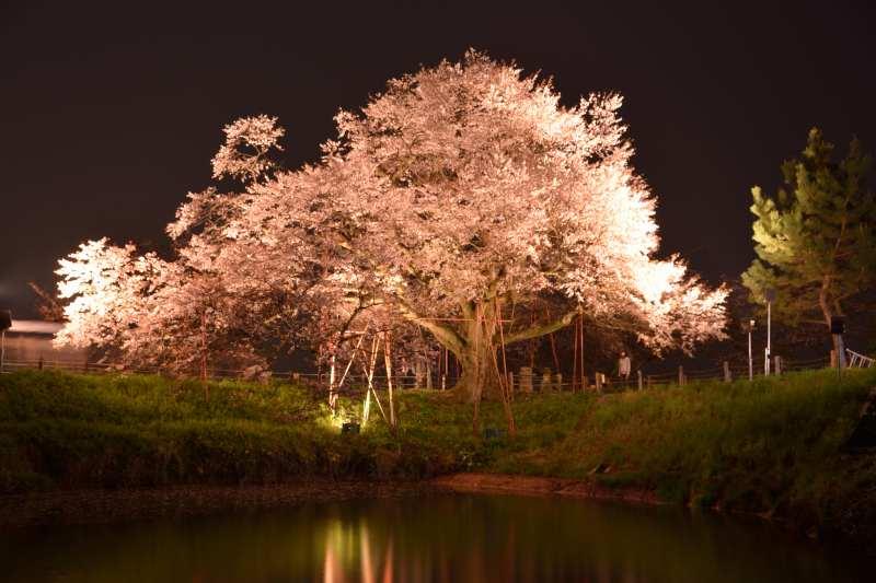 浅井一本桜 (3)