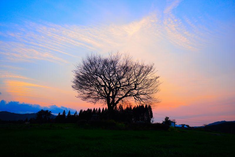 前原一本桜 (2)