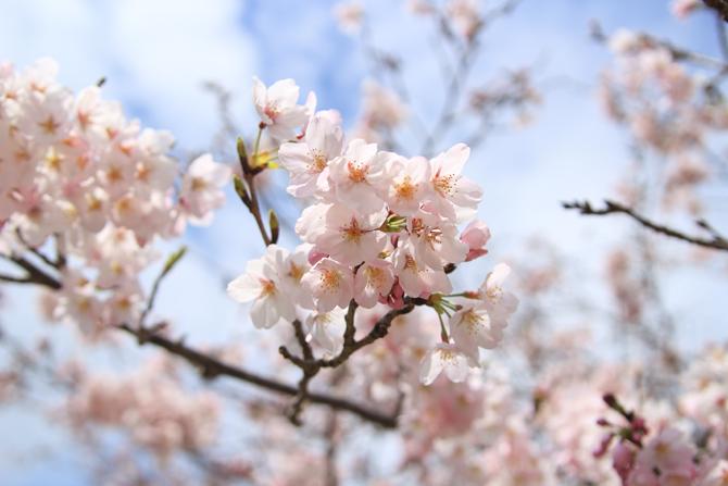 2016の桜160402