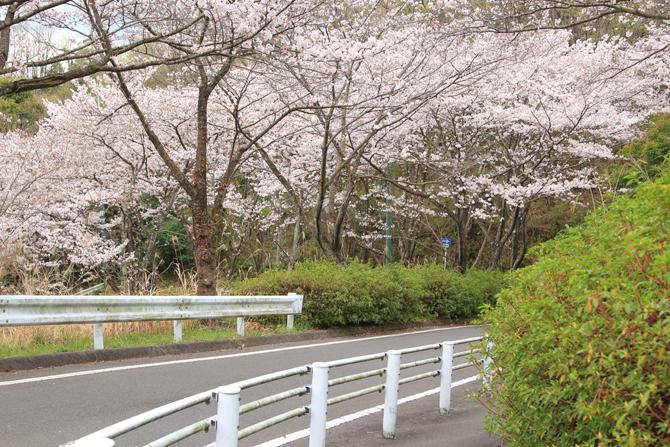 20160402今年の桜も綺麗でした