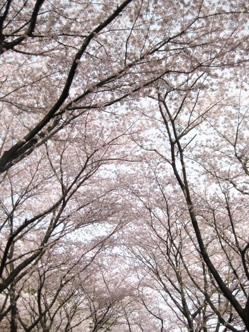 2016桜01-05
