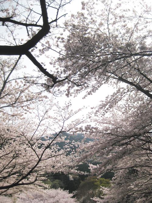 2016桜01-04