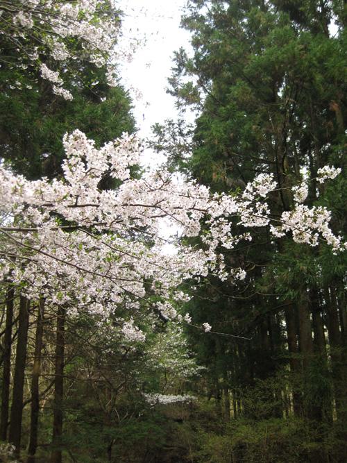 2016桜01-01