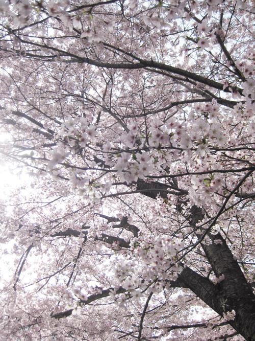 2016桜01-08