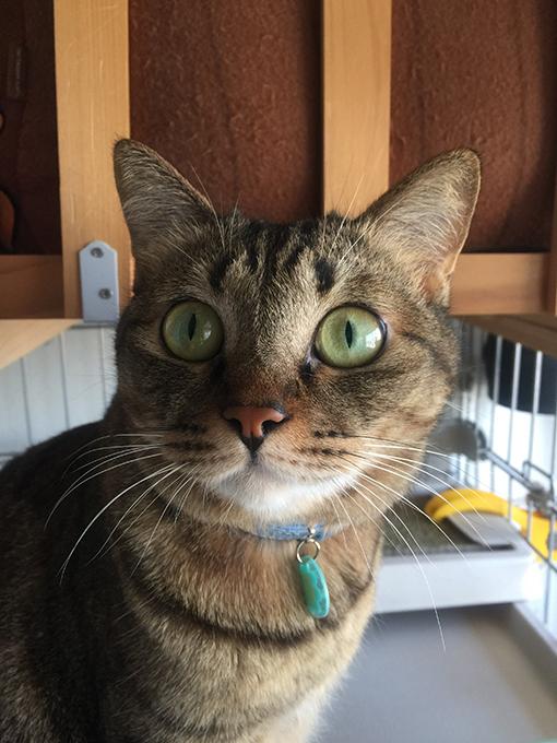 2015年10月13日撮影のキジトラ猫クーちゃん 2