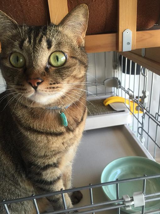 2015年10月13日撮影のキジトラ猫クーちゃん 4