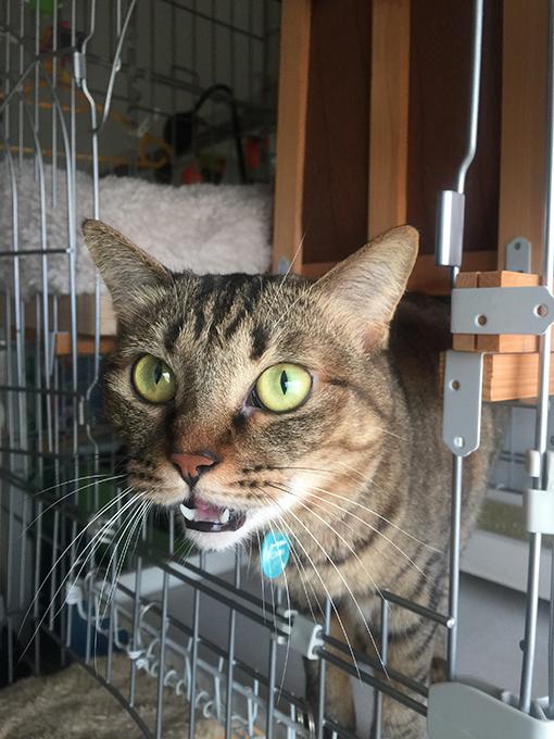 2015年10月29日撮影のキジトラ猫クーちゃん 2/5