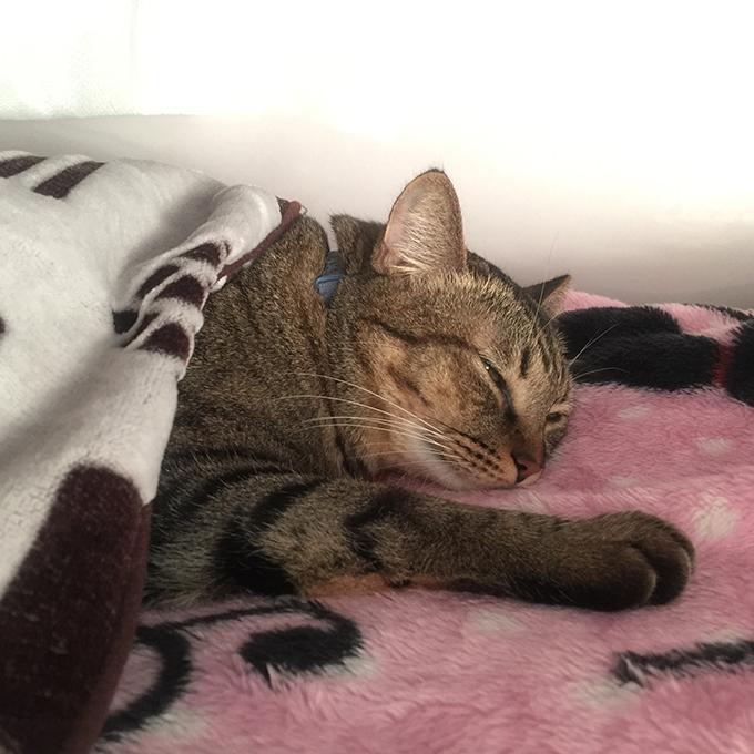2015年10月30日撮影のキジトラ猫クーちゃん