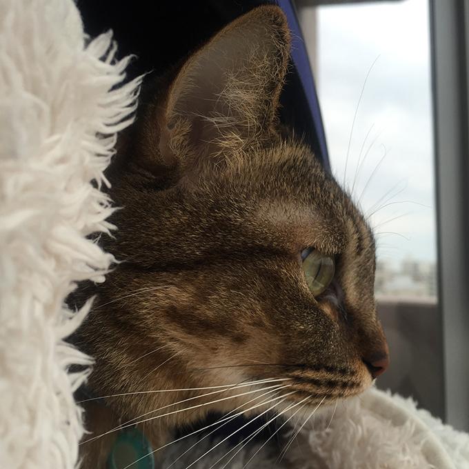 2015年11月09日撮影のキジトラ猫クーちゃん