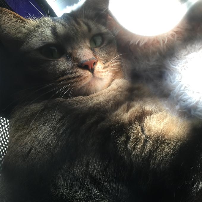 2015年11月11日撮影のキジトラ猫クーちゃん