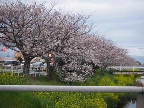 国一桜(1)