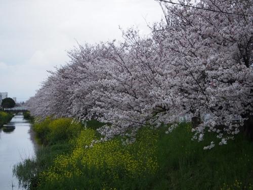 国一桜(3)