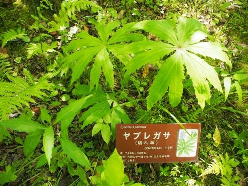 箱根湿生花園(6)