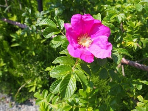 箱根湿生花園(12)