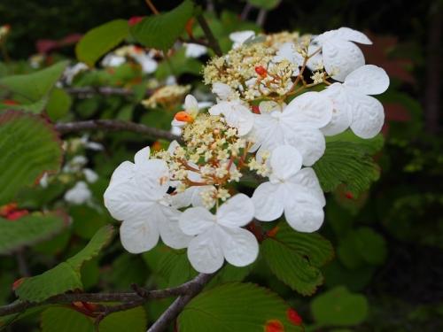 箱根湿生花園(15)