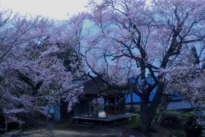 桜堂のひょうたん桜