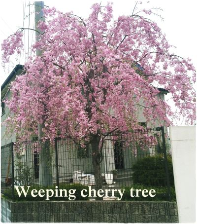 weeping cherry tree