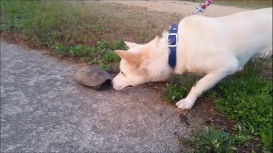 20160707散歩亀犬遭遇