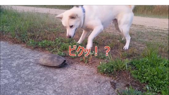 20160707散歩亀犬遭遇ビク