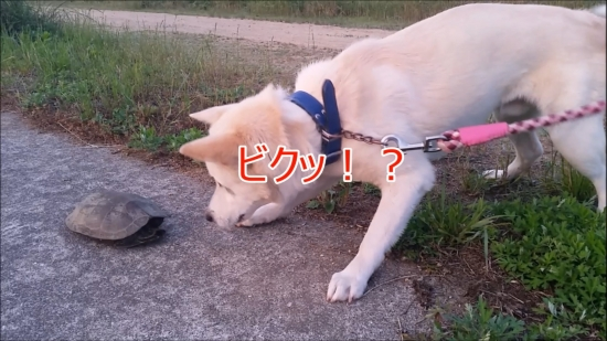 20160707散歩亀犬遭遇ビク2