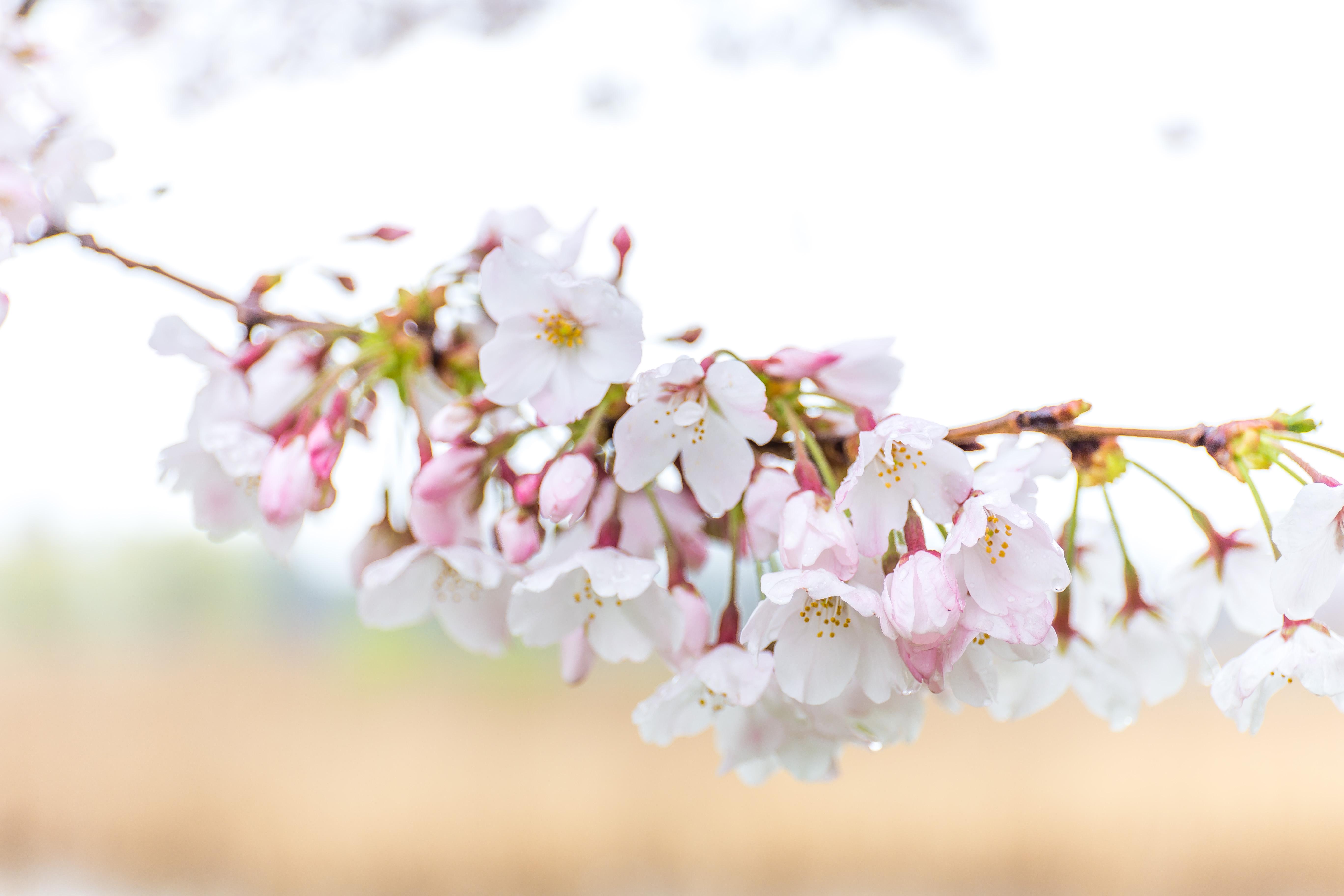 舎人公園でお花見からの「稲毛屋」(2)