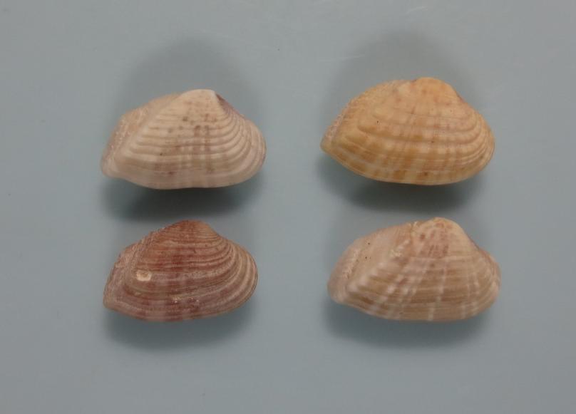 ヒナクチベニ