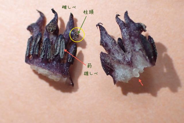 ヒメカンアオイ雄しべ雌しべ