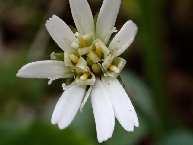 センボンヤリの花